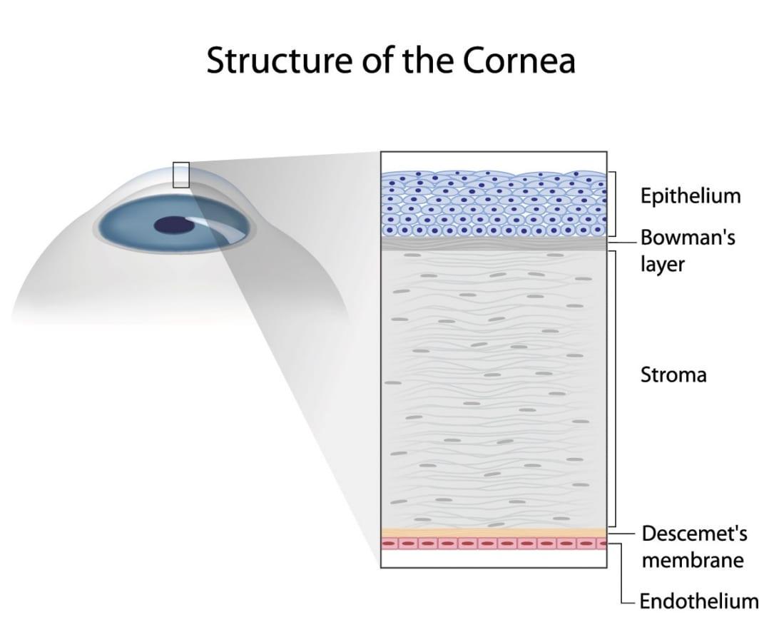 Structure of a Cornea